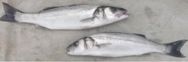 peixes-pesca-corrico