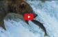 videos de pesca urso pesca salmão