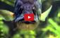 pesca achiga predador de rio