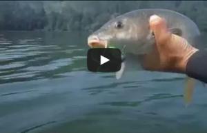 pesca de barbo com grub