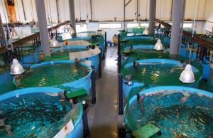 Aquacultura-Estação-Piloto-de-Piscicultura-de-Olhão