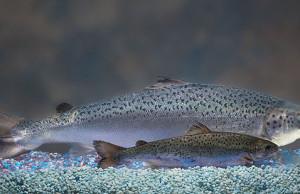 Estados Unidos aprovam salmão geneticamente modificado para consumo humano