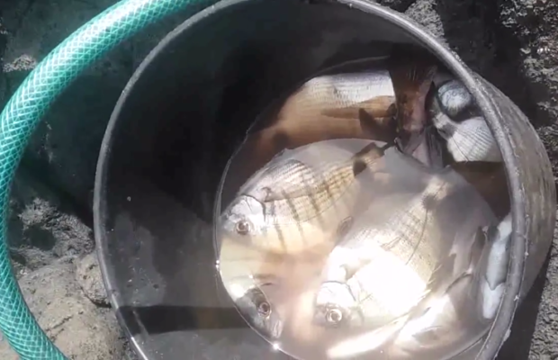 pesca-ao-sargo-nos-acores-tiago-pescador