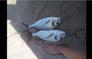 Pesca surfcasting - Algarve - À procura das douradas