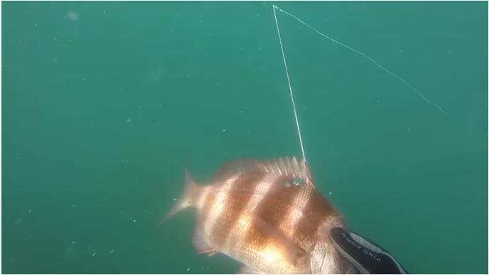 Pesca Submarina Sargo Veado