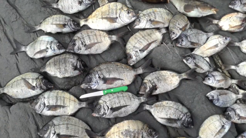 Pesca ao sargo na Costa Vicentina