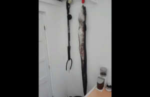 pesca Submarina congro safio 15kg