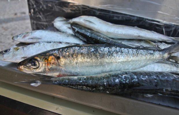 pesca da sardinha